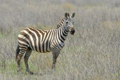 平原的斑马(马属拟斑马)在大草原 免版税图库摄影