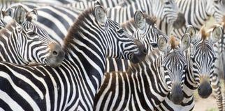 平原的斑马(马属拟斑马)在大草原 库存图片