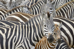 平原的斑马(马属拟斑马)在大草原 库存照片
