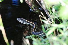 平原花纹蛇进入设法的水游泳  免版税库存图片