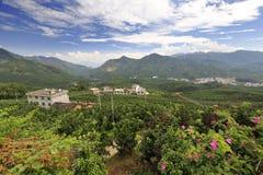 平和县的柚子种植园 免版税库存图片