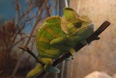 平安变色蜥蜴睡着在一个稀薄的分支 免版税图库摄影