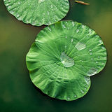 平安和镇静概念 绿色莲花的构成离开wi 库存照片