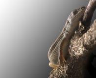 平安地休眠分行的蜥蜴 免版税库存照片