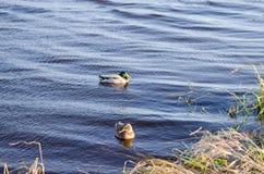 平安地漂浮在水中的两只鸭子 免版税库存图片