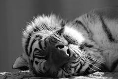 平安地睡觉一只成人的老虎的黑白面孔 图库摄影