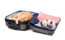 平安地睡觉在一个开放,被包装的手提箱的姜猫和暹罗小猫 免版税库存照片
