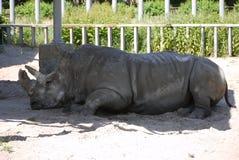 平安地睡觉在树荫下的一头重的灰色犀牛在一个机盖下在动物园里 库存图片
