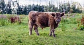 平安地观看摄影师的幼小盖洛韦公牛 免版税库存照片