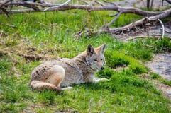 平安的土狼 免版税库存图片