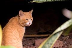 平安的淡桔色的猫 库存图片