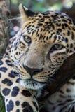 平安的豹子,豹,说谎在树,特写镜头,豹子头 库存照片