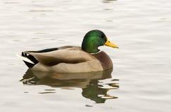 平安的鸭子 免版税图库摄影