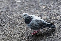 平安的鸽子 库存照片
