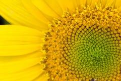 平安的Upclose向日葵种子迷宫 图库摄影