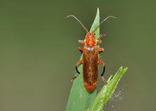 平展树皮甲虫红色 库存照片