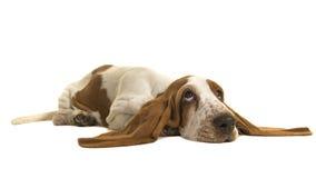 平展躺下在与她的耳朵的地板上的英国贝塞猎狗小狗在地板上 免版税库存图片