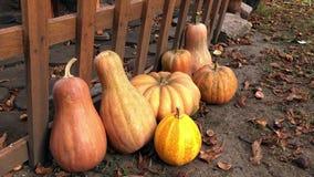 平底锅南瓜在庭院里 新鲜,成熟,生长在农村场面的领域的南瓜 影视素材