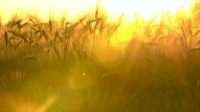 平底锅在日落或日出的麦子或大麦领域 股票视频