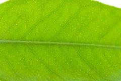 平柑橘树一片绿色叶子 背景查出的白色 免版税库存照片