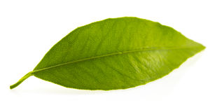 平柑橘树一片绿色叶子 背景查出的白色 库存照片