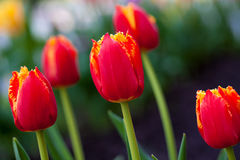水平的抽象背景 美丽的红色郁金香 Flowerbackground, gardenflowers 背景美丽的刀片花园 免版税库存图片