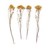 平的艾菊草位置干燥分支在白色背景的 艾菊花视图从上面 图库摄影