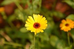 水平的黄色雏菊 免版税库存照片