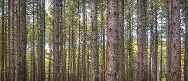 平直的树在荷兰森林里 免版税库存照片