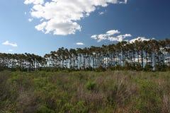 平直的高大的树木 免版税库存照片