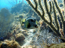 平稳的热带硬鳞鱼 库存图片