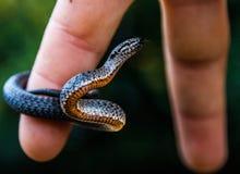 平稳的蛇 免版税库存图片