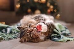 平纹和愉快的猫 圣诞节季节2017年,新年、假日和庆祝 库存照片