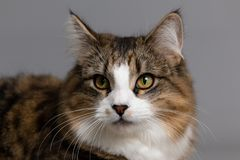 平纹和白色猫的演播室画象 库存照片