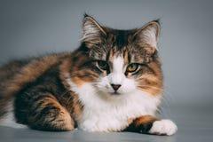平纹和白色猫的演播室画象 免版税库存照片