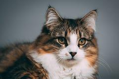 平纹和白色猫的演播室画象 库存图片