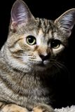 平纹宠物 免版税库存图片