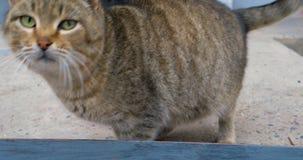 平纹家猫猫叫声和看非常饥饿 股票录像