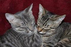 平纹小猫睡觉 库存照片