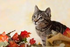 平纹小猫画象  免版税库存图片