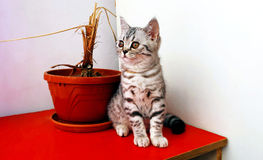 平纹小猫 免版税库存图片