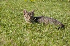 平纹小猫 图库摄影