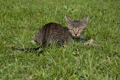平纹小猫 免版税库存照片