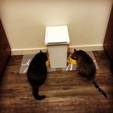 平纹镶边的和黑家猫吃 免版税库存照片