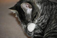 平纹马恩岛的小猫 免版税图库摄影