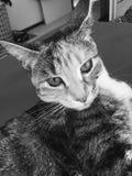 平纹龟甲小猫 图库摄影