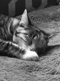 平纹龟甲小猫 免版税图库摄影