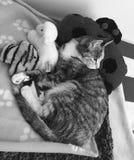 平纹龟甲小猫 免版税库存照片