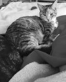 平纹龟甲小猫 免版税库存图片