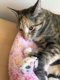 平纹龟甲小猫 库存图片